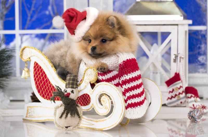 Perro pomeranian de la Navidad en el sombrero rojo de santa fotos de archivo libres de regalías