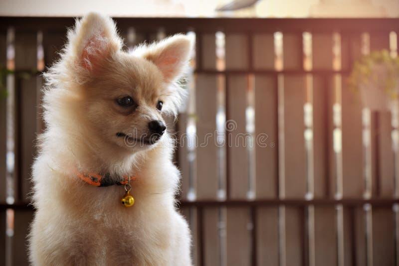 Perro pomeranian del perrito fotos de archivo
