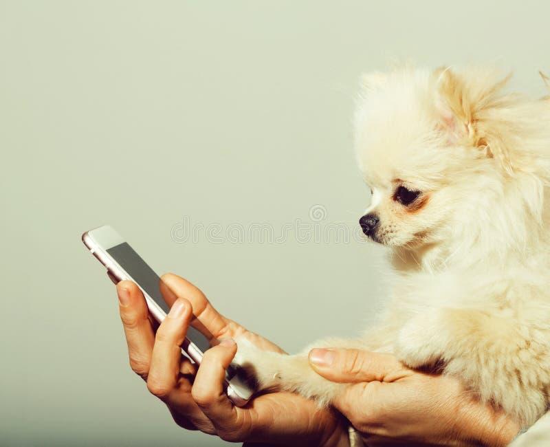 Perro pomeranian lindo usando smartphone en manos femeninas fotografía de archivo