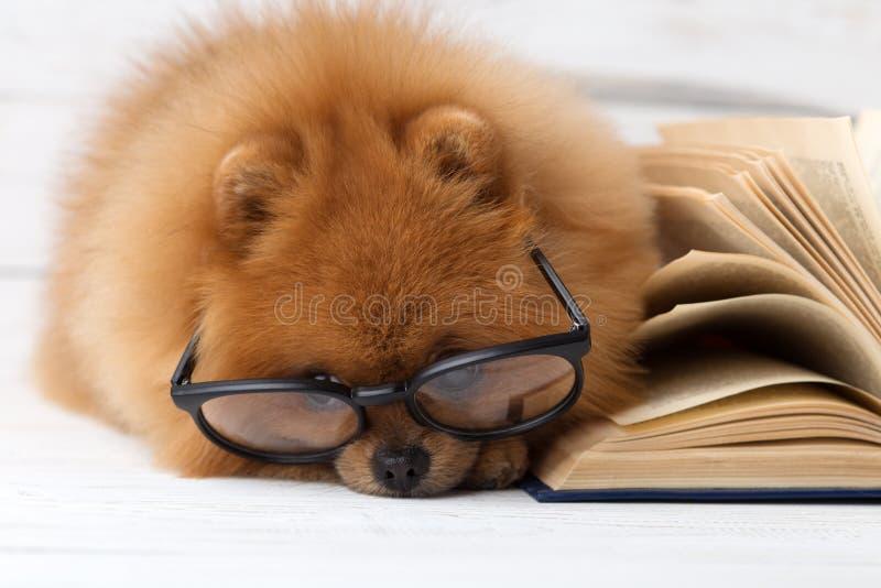 Perro pomeranian listo con un libro Un perro abrigado en una manta con un libro Perro serio con los vidrios Perro en una bibliote fotos de archivo libres de regalías