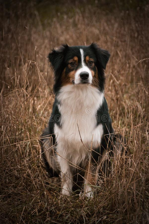 PERRO - Potrtait del perro de pastor australiano de Australian del pastor se está sentando en caña fotos de archivo libres de regalías