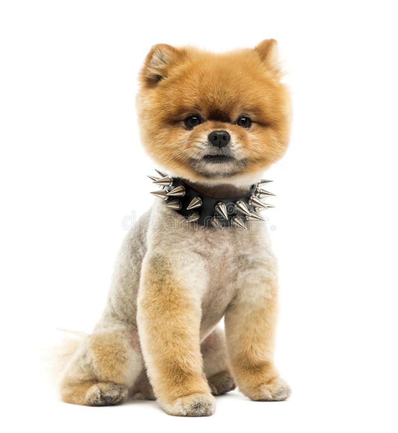 Perro preparado de Pomeranian que se sienta llevando un cuello claveteado fotografía de archivo libre de regalías