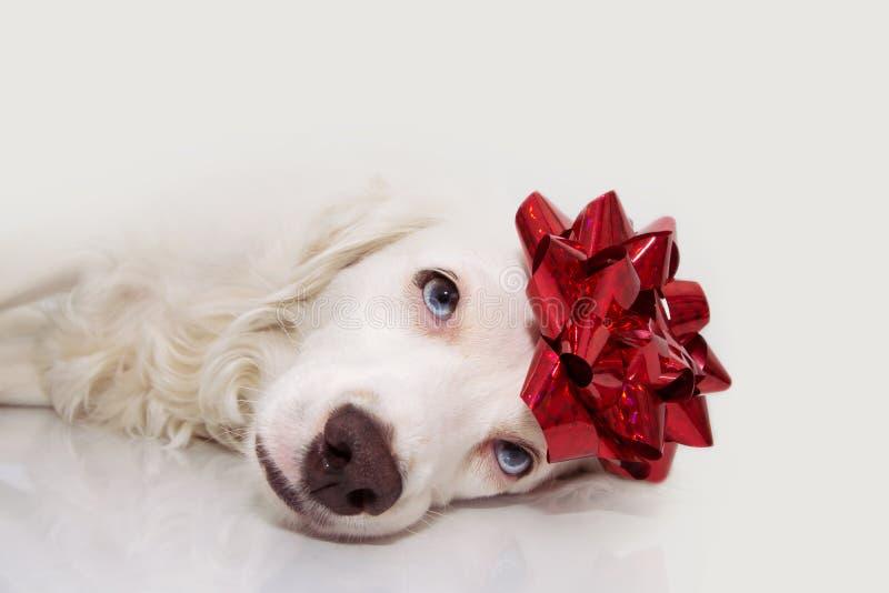 Perro presente Perrito que celebra cumpleaños, la Navidad o el aniversario con una cinta roja en la cabeza Expresión triste o can fotografía de archivo libre de regalías