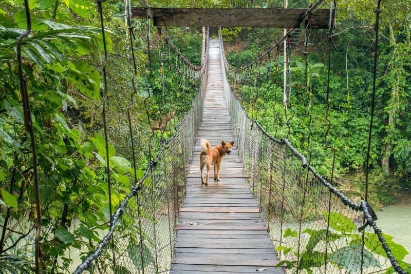 Perro que camina en puente colgante en Tangkahan, Indonesia imagen de archivo
