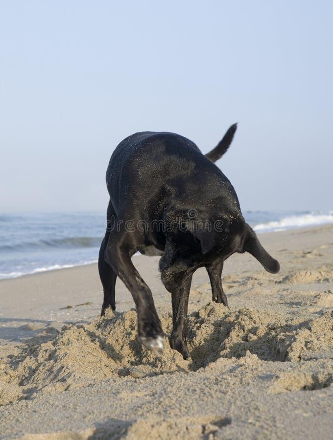 Perro que cava en la playa fotos de archivo libres de regalías
