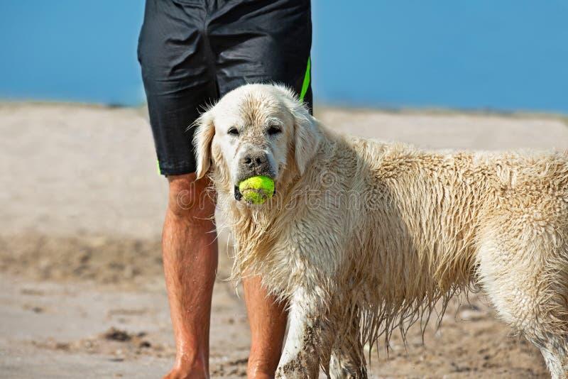 Perro que coge la pelota de tenis en la playa que espera al lado de las piernas de su amo imágenes de archivo libres de regalías