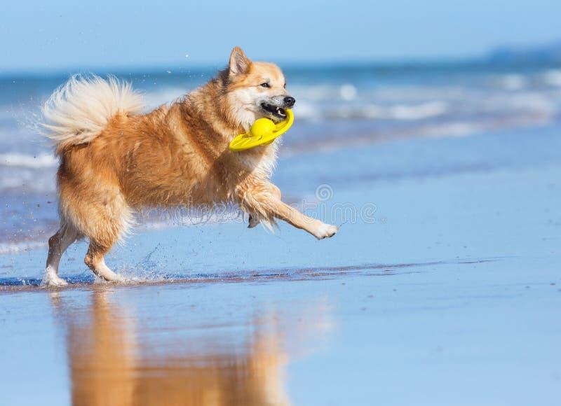 Perro que corre en la playa foto de archivo