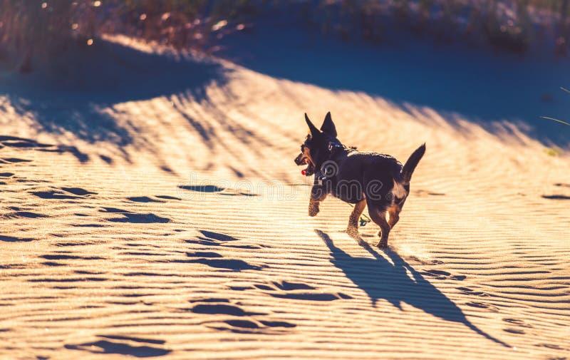 Perro que corre a través de la arena imagen de archivo
