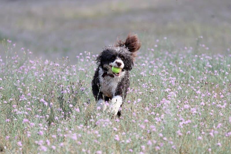 Perro que corre a través de las flores del verano con una bola fotografía de archivo
