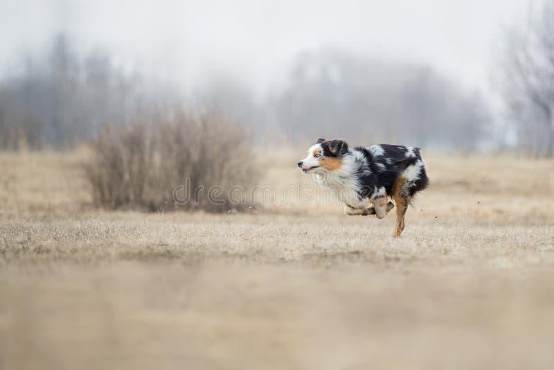 Perro que corre y que juega en el parque Pastor australiano, Aussie fotos de archivo libres de regalías