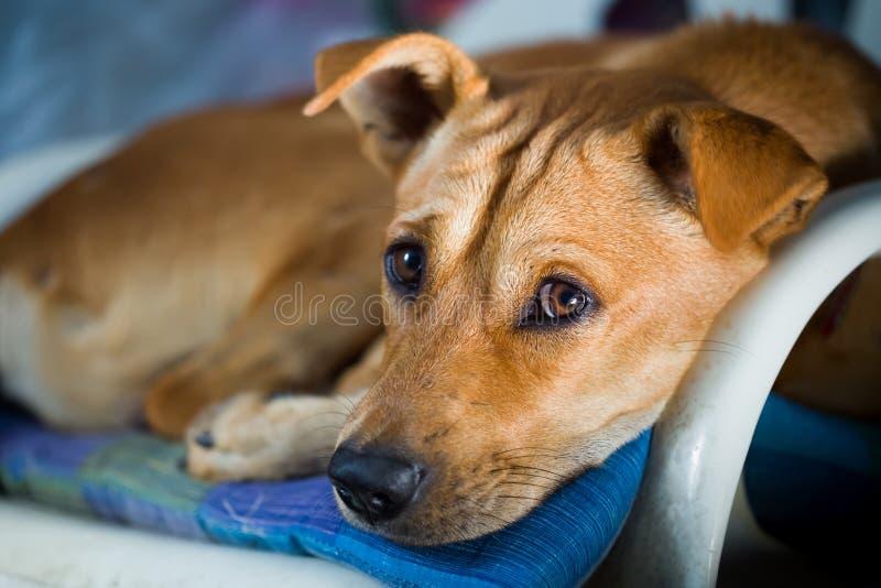 Perro que duerme en la silla del sofá en hogar foto de archivo libre de regalías