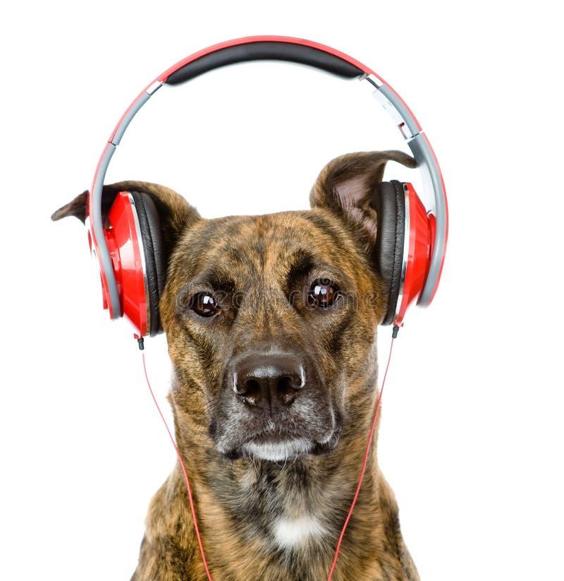 Perro que escucha la música en los auriculares Aislado en blanco fotos de archivo