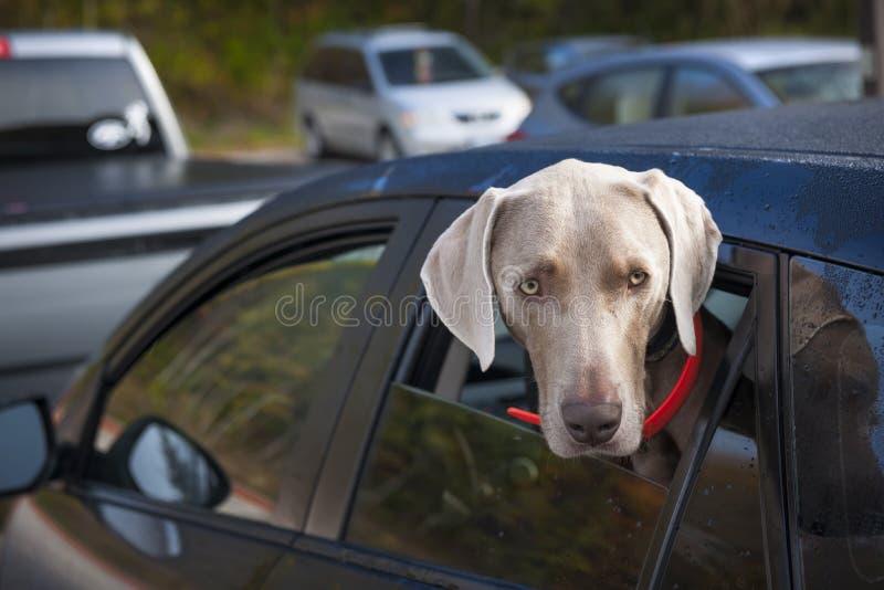 Perro que espera en coche fotos de archivo