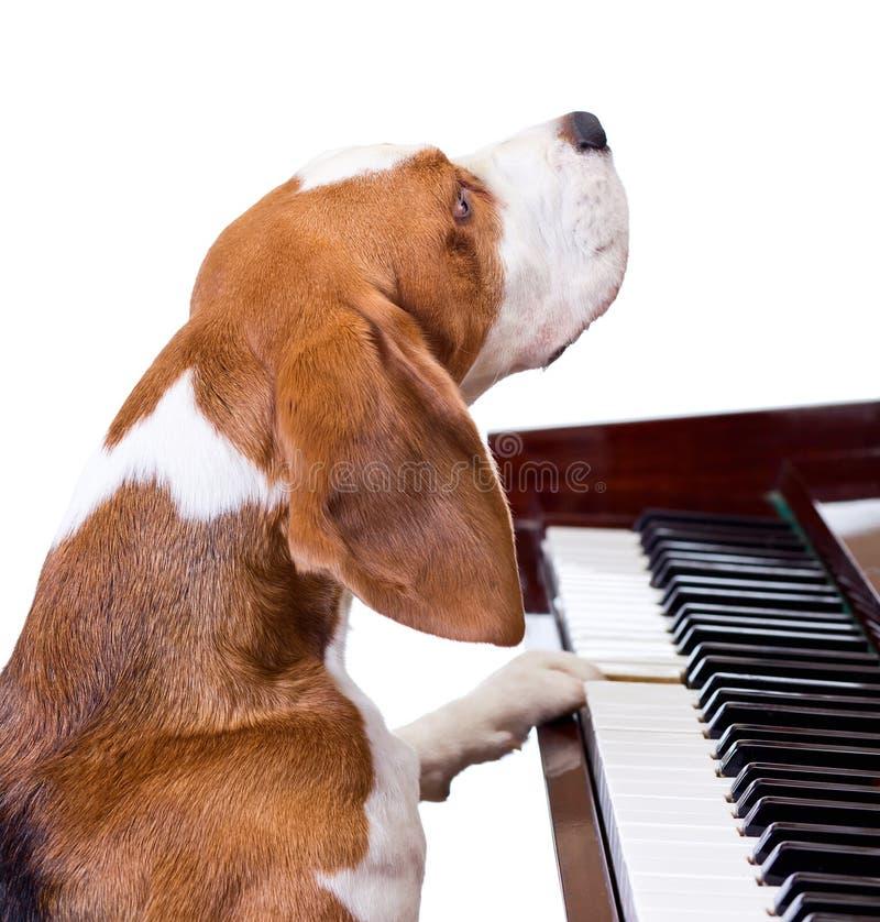 Perro que juega el piano. foto de archivo libre de regalías