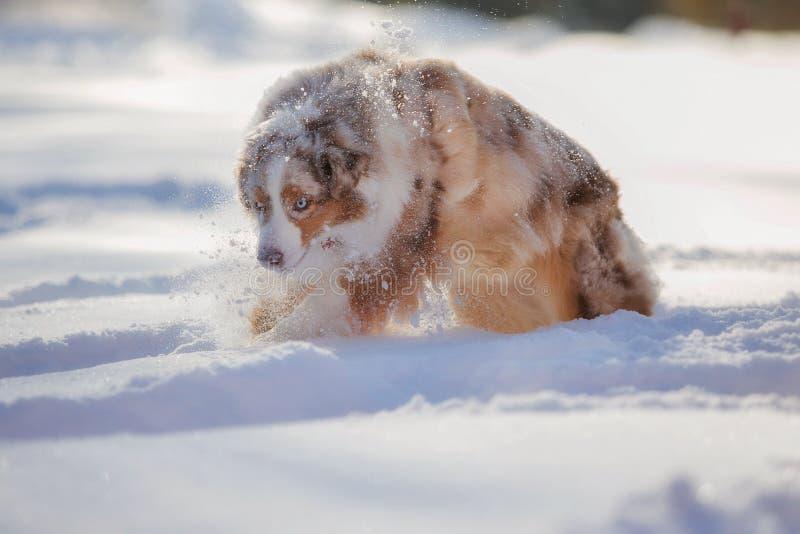 Perro que juega en un parque nevado foto de archivo libre de regalías