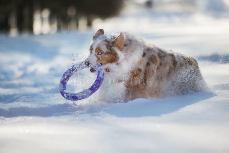 Perro que juega en un parque nevado imágenes de archivo libres de regalías