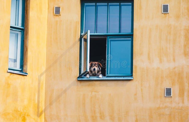 Perro que mira a escondidas hacia fuera la ventana imagenes de archivo