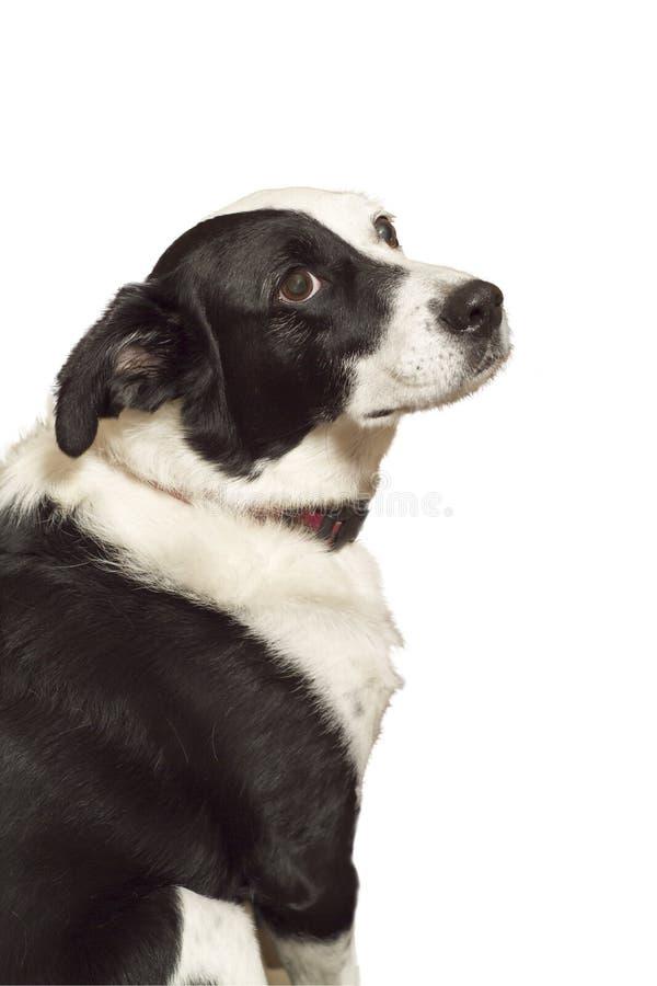 Perro que mira vehementemente para arriba fotografía de archivo