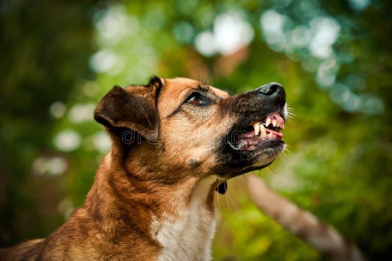 Perro que muestra sus dientes imagenes de archivo