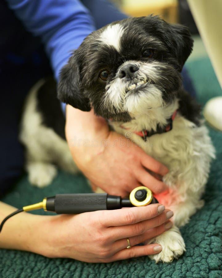 Perro que recibe la fisioterapia en los veterinarios fotos de archivo