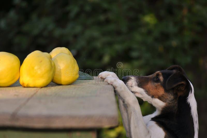 Perro que roba la comida imagen de archivo