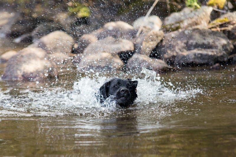 Perro que salpica el agua en el lago en el verano imágenes de archivo libres de regalías