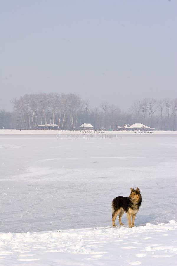Perro que se coloca en el lago congelado imagen de archivo