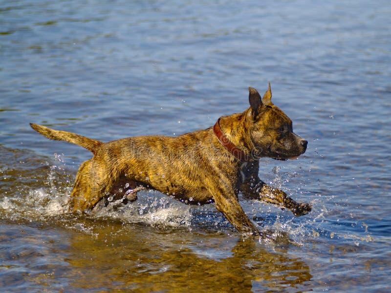 Perro que se ejecuta en el agua foto de archivo libre de regalías