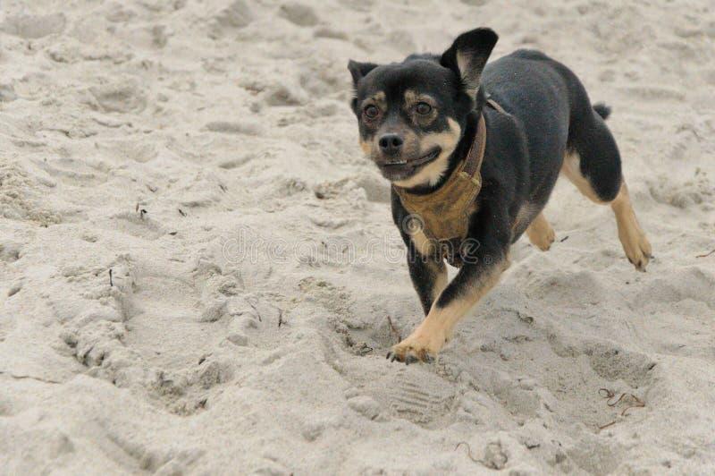 Perro que se ejecuta en la arena foto de archivo