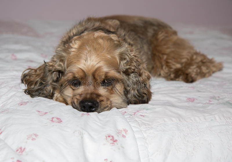 Perro que se relaja en cama imagen de archivo