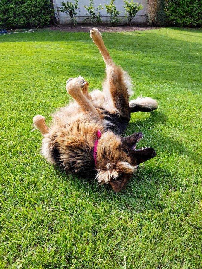 Perro que se revuelca en la hierba Perro divertido fotografía de archivo libre de regalías