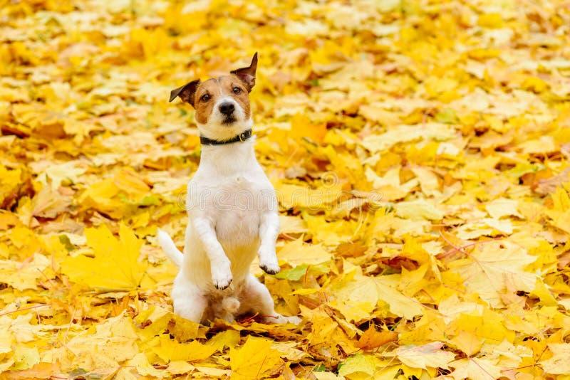 Perro que se sienta en las piernas traseras en el petición de actitud en la alfombra amarilla de las hojas de otoño caidas fotografía de archivo libre de regalías