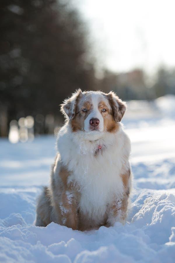 Perro que se sienta en una nieve acumulada por la ventisca en el parque para un paseo imágenes de archivo libres de regalías