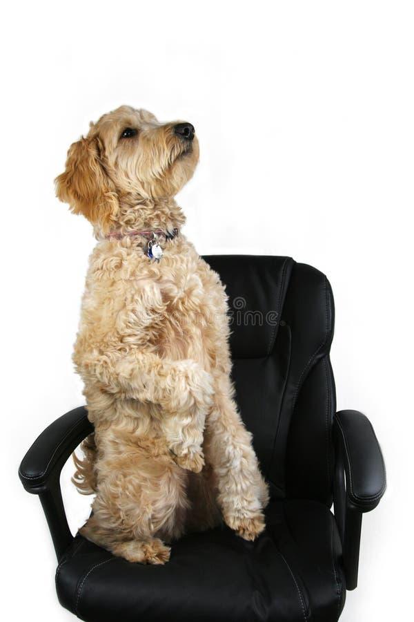 Perro que se sienta para arriba en silla de la oficina imágenes de archivo libres de regalías