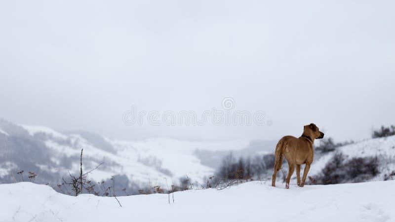 Perro que se sienta solamente en un paisaje del invierno en las montañas de Rumania fotografía de archivo libre de regalías