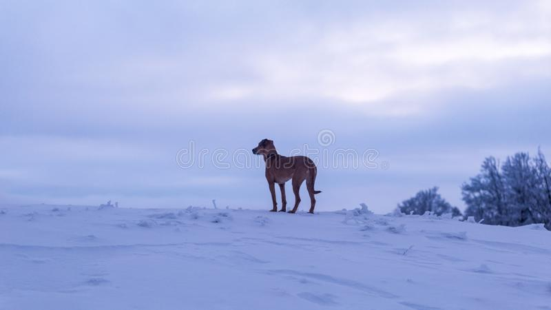 Perro que se sienta solamente en un paisaje del invierno en las montañas de Rumania imágenes de archivo libres de regalías