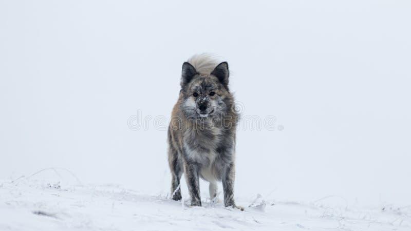 Perro que se sienta solamente en un paisaje del invierno en las montañas de Rumania imagen de archivo
