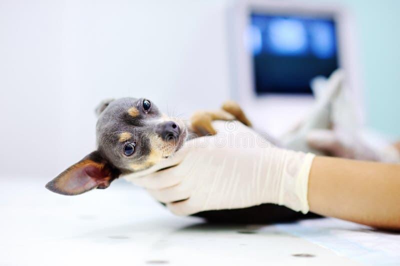 Perro que tiene exploración del ultrasonido en oficina del veterinario imágenes de archivo libres de regalías
