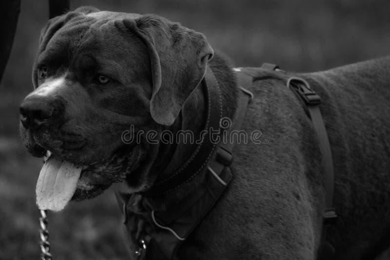 Perro que toma una respiración En blanco y negro imagen de archivo