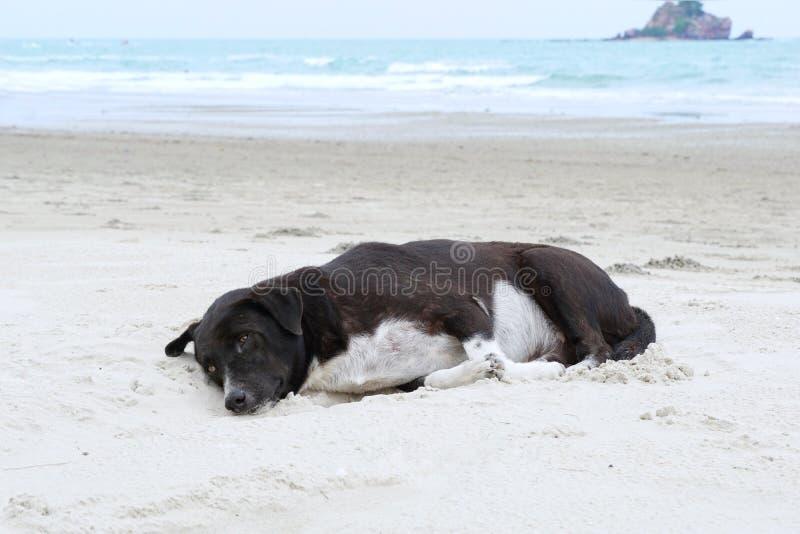 Perro relajado, perro blanco mezclado negro que mira la c?mara en la playa de la arena con el mar y el cielo azul como fondo foto de archivo libre de regalías