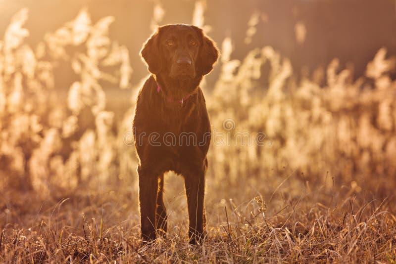 Perro revestido plano del perro perdiguero que se coloca en puesta del sol fotografía de archivo libre de regalías