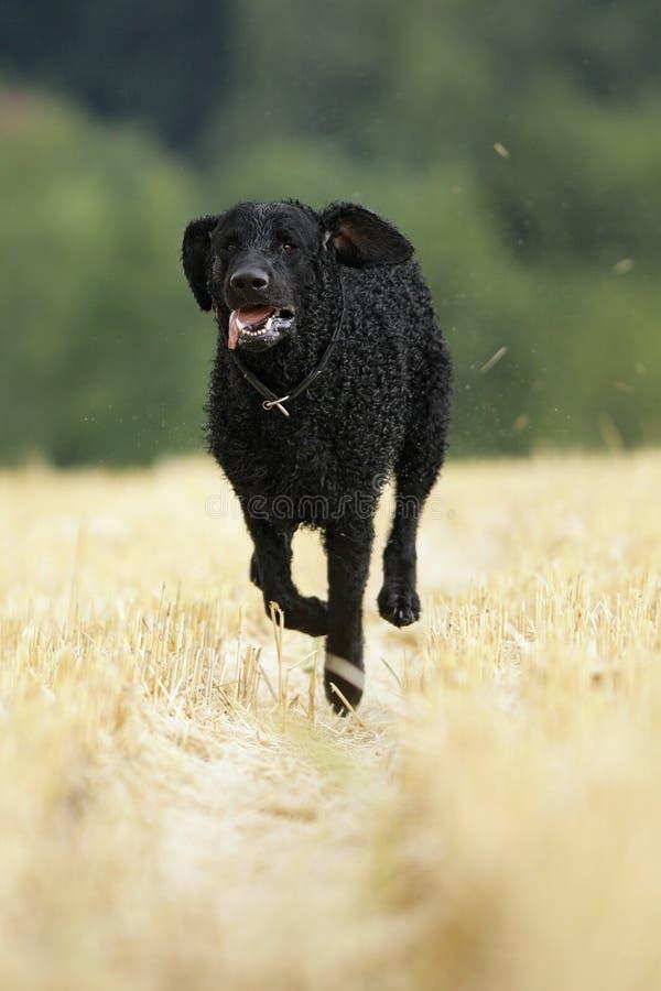Perro revestido rizado del perro perdiguero fotos de archivo libres de regalías