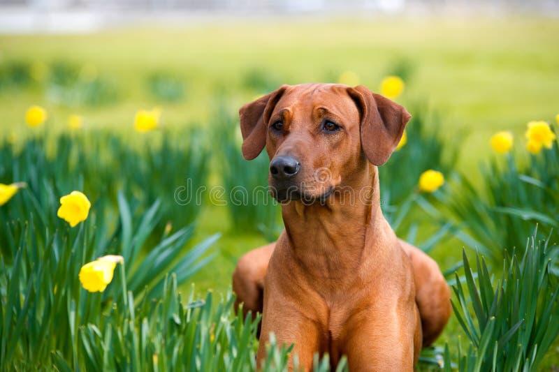 Perro rhodesian lindo feliz del ridgeback en el campo de la primavera imagen de archivo