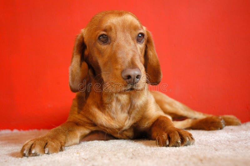 Perro rojo fotos de archivo