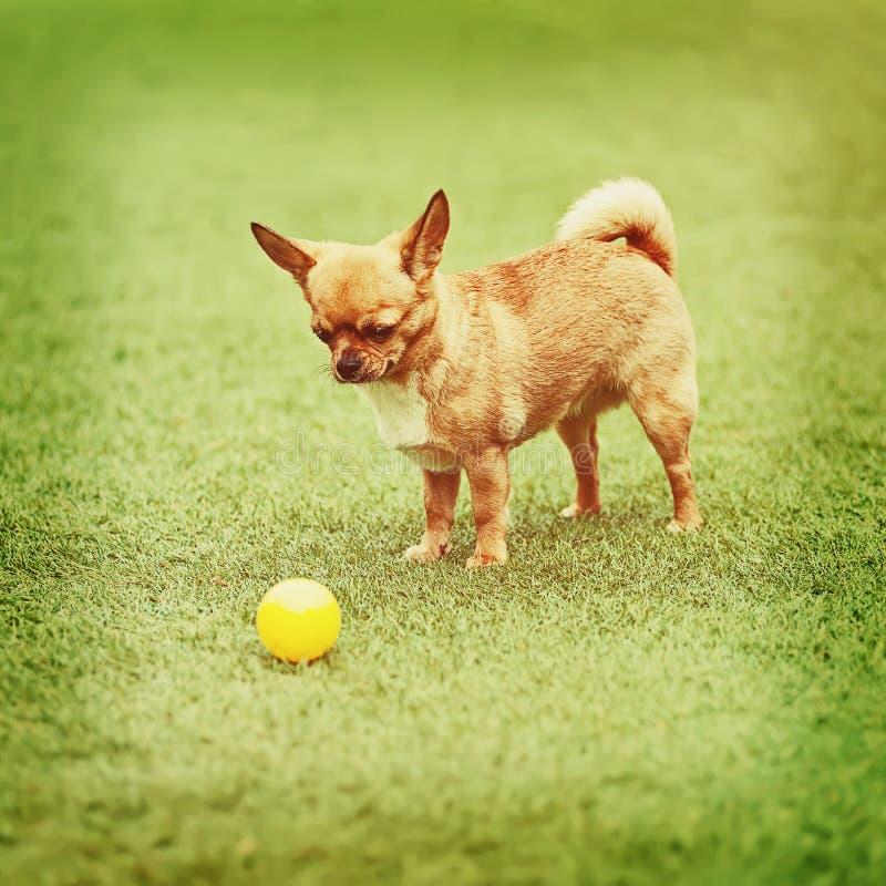 Perro rojo de la chihuahua en hierba verde imagenes de archivo