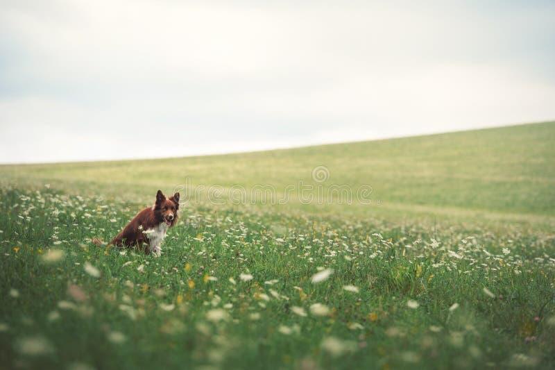 Perro rojo del border collie que se sienta en un prado fotos de archivo libres de regalías