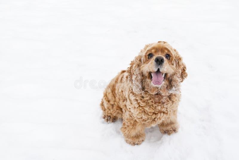 Perro Rojo Del Perro De Aguas Fotos de archivo