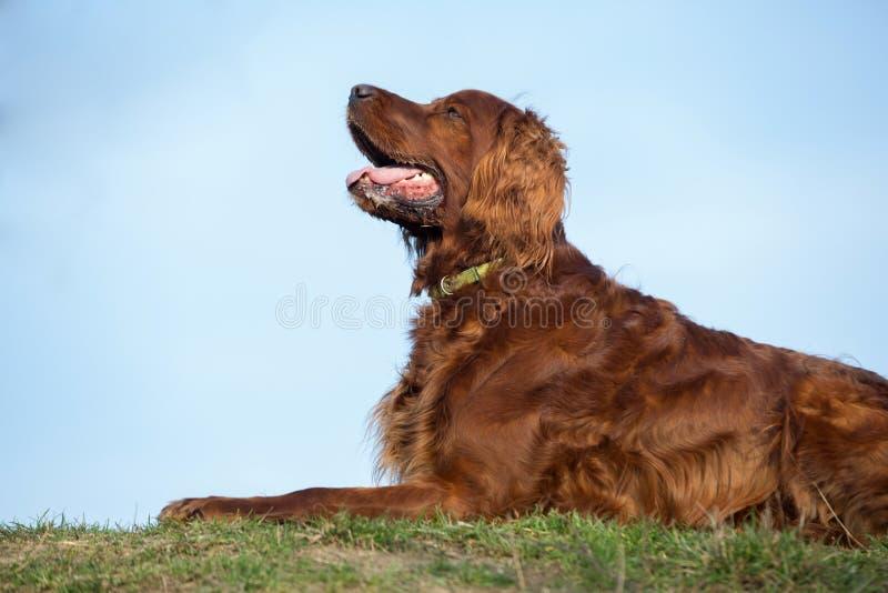 Perro rojo del setter irlandés, perro para un paseo imágenes de archivo libres de regalías