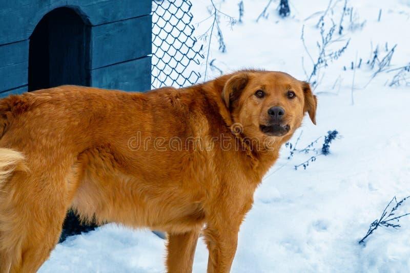 Perro rojo hermoso en el fondo de los guardias de la nieve su territorio, colocándose cerca de su casa fotografía de archivo