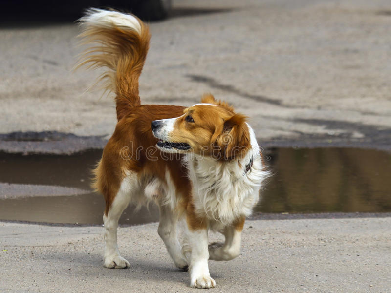 Perro rojo que espera a un amigo fotografía de archivo libre de regalías